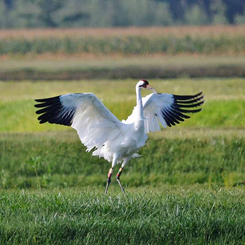 Cause of the Mondays – Whooping Crane Festival