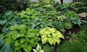 Elim Hosta Gardens Open Garden @ Elim Hosta Gardens