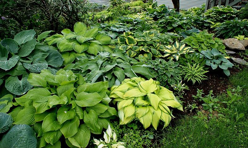 Elim Hosta Gardens Open Garden