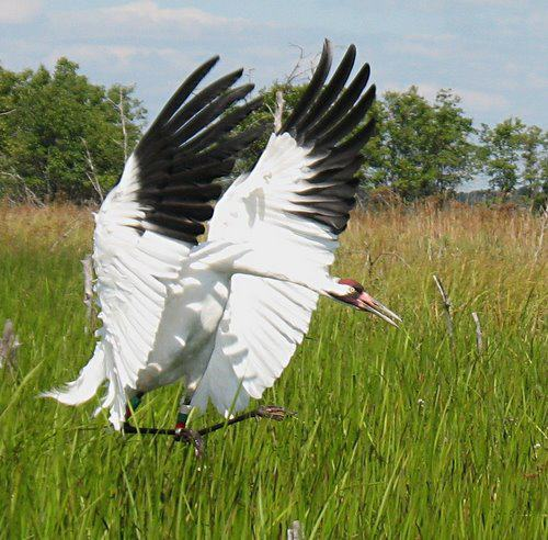 Celebrate the Return of the Whooping Cranes!